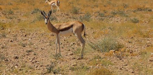 Namibia mit Kindern - Namibia for family individuell - Antilope in Etosha Nationalpark