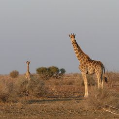 Namibia mit Kindern - Namibia for family individuell - Giraffen