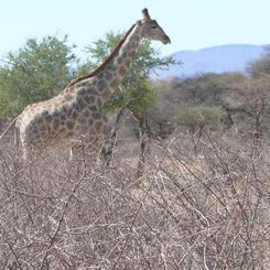 Namibia mit Kindern - Namibia for family individuell - Giraffe