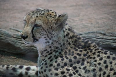 Namibia Familienreise individuell - Leopard