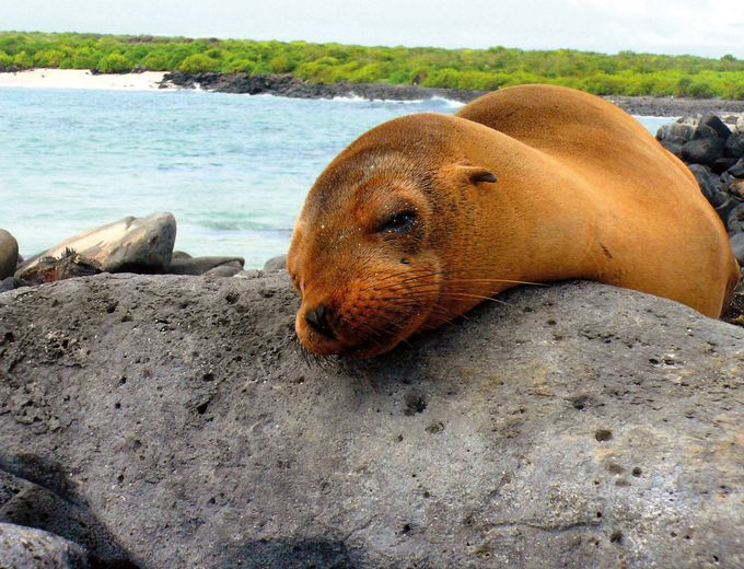 Galapagos Familienreise - Galapagos for family - Robbe am Strand