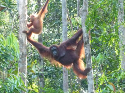 Malaysia Familienreise - Malaysia for family individuell - Semenggoh Wildlife Centre - Orang-Utan mit Baby am Baum