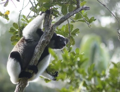 Madagaskar mit Kindern - Madagaskar for family - Lemur am Baum