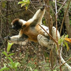 Familienreise Madagaskar - Madagaskar for family - Sifaka Lemur in Action